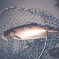 012-chinook-salmon